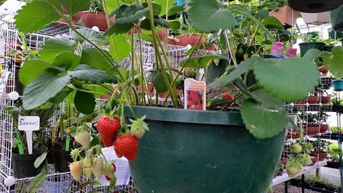 strawberry_plants