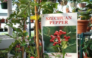 The Szechuan Pepper is a staple in many styles of Asian Cuisine, and both the peppers and leaves are edible.