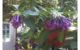 Vibrant Purple Tubeflowers