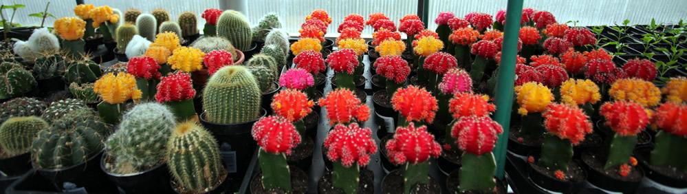 alaska_cactus